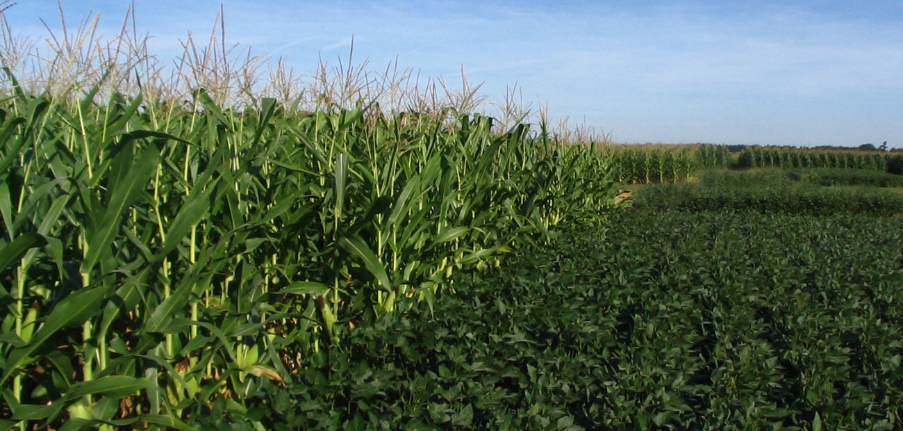Integrated Pest Management for corn & soybeans - Corn & Soybean Field